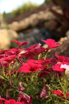 Wave Petunias | Backyard Waterfall | Tussey Landscaping Hollidaysburg PA